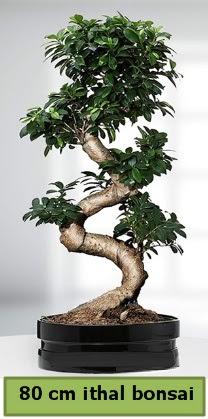 80 cm özel saksıda bonsai bitkisi  Muğla cicekciler , cicek siparisi