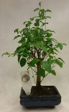 Minyatür bonsai japon ağacı satışı  Muğla cicekciler , cicek siparisi