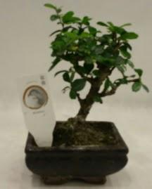 Küçük minyatür bonsai japon ağacı  Muğla cicek , cicekci