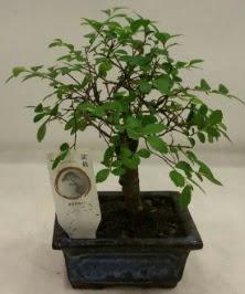 Minyatür ithal japon ağacı bonsai bitkisi  Muğla uluslararası çiçek gönderme