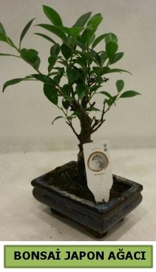 Bonsai japon ağacı saksı bitkisi  Muğla çiçek , çiçekçi , çiçekçilik