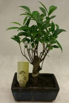 Japon ağacı bonsai bitkisi satışı  Muğla cicekciler , cicek siparisi