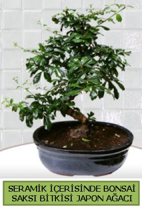 Seramik vazoda bonsai japon ağacı bitkisi  Muğla çiçek servisi , çiçekçi adresleri
