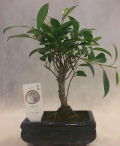 Bonsai japon ağacı bitkisi satışı  Muğla çiçek siparişi vermek