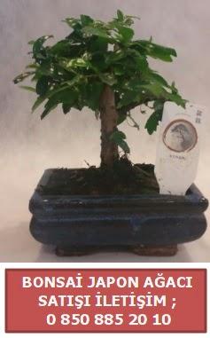 Japon ağacı minyaür bonsai satışı  Muğla uluslararası çiçek gönderme
