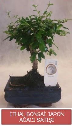 İthal küçük boy minyatür bonsai ağaç bitkisi  Muğla cicekciler , cicek siparisi