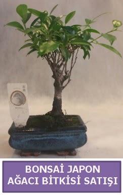 İthal Bonsai japon ağacı bitkisi satışı  Muğla internetten çiçek siparişi