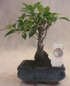 Bonsai ağacı japon ağaç bitkisi  Muğla online çiçek gönderme sipariş