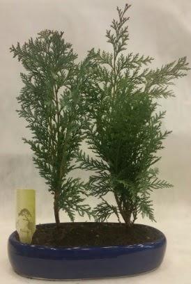 SINIRLI SAYIDA Selvi Ağacı bonsai ikili  Muğla cicekciler , cicek siparisi