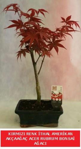 İTHAL ACER RUBRUM BONSAİ AĞACI  Muğla çiçek siparişi vermek