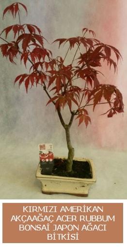 Amerikan akçaağaç Acer Rubrum bonsai  Muğla çiçek gönderme sitemiz güvenlidir