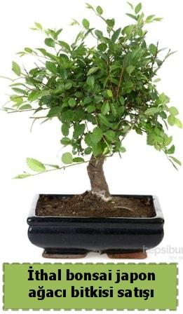 İthal bonsai saksı çiçeği Japon ağacı satışı  Muğla internetten çiçek siparişi