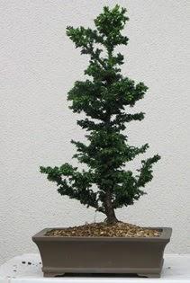 Çam ağacı bonsai bitkisi satışı  Muğla cicekciler , cicek siparisi