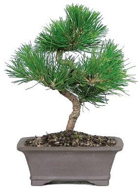 Çam ağacı bonsai japon ağacı bitkisi  Muğla cicek , cicekci