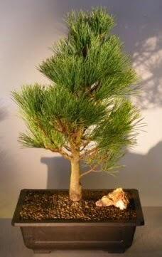 Çam ağacı japon ağacı bitkisi bonsai  Muğla cicekciler , cicek siparisi