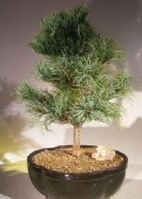 Çam ağacı bonsai bitkisi satışı  Muğla anneler günü çiçek yolla