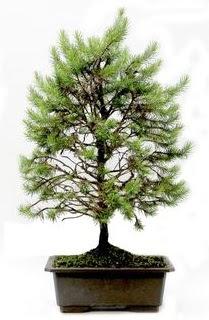 *** STOKTA YOK - Çam ağacı bonsai bitkisi satışı  Muğla İnternetten çiçek siparişi