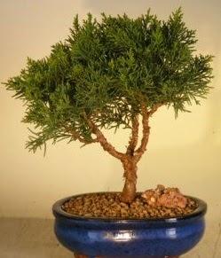 Servi çam bonsai japon ağacı bitkisi  Muğla online çiçek gönderme sipariş