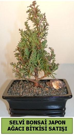 Selvi çam japon ağacı bitkisi bonsai  Muğla cicekciler , cicek siparisi