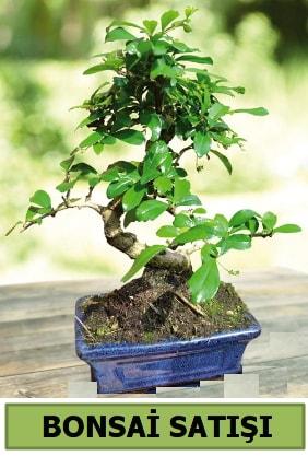 Çam bonsai japon ağacı satışı  Muğla uluslararası çiçek gönderme