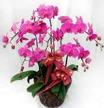 Sepet içerisinde 5 dallı lila orkide  Muğla anneler günü çiçek yolla