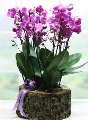 Kütük içerisinde 6 dallı mor orkide  Muğla anneler günü çiçek yolla