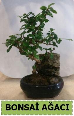 Bonsai ağacı japon ağacı satışı  Muğla hediye sevgilime hediye çiçek