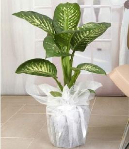 Tropik saksı çiçeği bitkisi  Muğla uluslararası çiçek gönderme