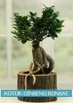 Kütük ağaç içerisinde ginseng bonsai  Muğla çiçek siparişi vermek