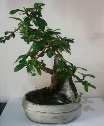 S şeklinde ithal bonsai ağacı  Muğla online çiçek gönderme sipariş