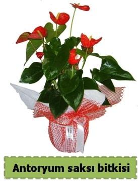 Antoryum saksı bitkisi satışı  Muğla 14 şubat sevgililer günü çiçek