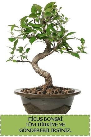 Ficus bonsai  Muğla çiçek siparişi vermek