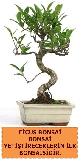 Ficus bonsai 15 ile 25 cm arasındadır  Muğla online çiçek gönderme sipariş