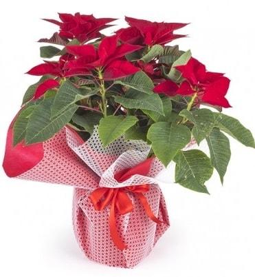 Atatürk çiçeği saksı bitkisi  Muğla çiçek siparişi vermek