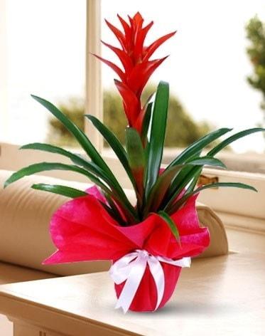 Guzmanya Saksı Çiçeği  Muğla online çiçek gönderme sipariş