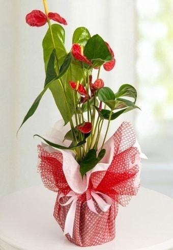 Anthurium Saksı Çiçeği  Muğla hediye sevgilime hediye çiçek
