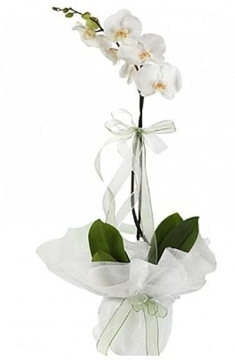 Tekli Beyaz Orkide  Muğla hediye sevgilime hediye çiçek