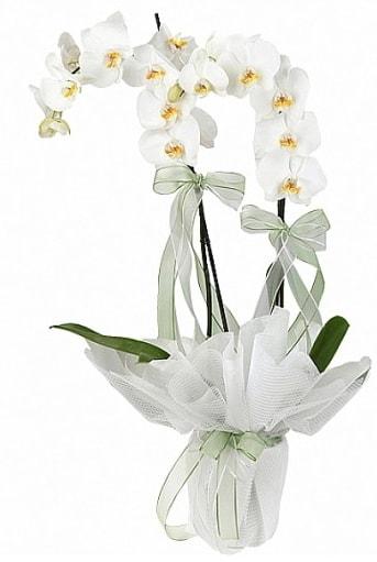 Çift Dallı Beyaz Orkide  Muğla çiçek gönderme