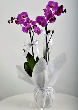 Çift dallı saksıda mor orkide çiçeği  Muğla yurtiçi ve yurtdışı çiçek siparişi