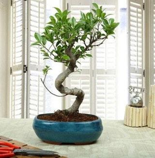 Amazing Bonsai Ficus S İthal  Muğla güvenli kaliteli hızlı çiçek