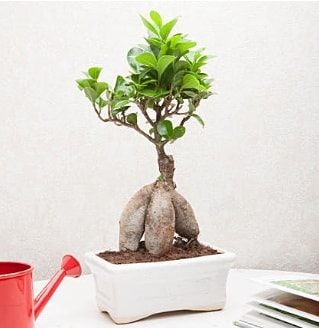 Exotic Ficus Bonsai ginseng  Muğla çiçek , çiçekçi , çiçekçilik