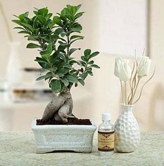 Ginseng ficus bonsai  Muğla kaliteli taze ve ucuz çiçekler