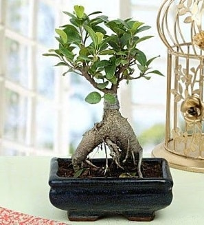 Appealing Ficus Ginseng Bonsai  Muğla çiçek gönderme