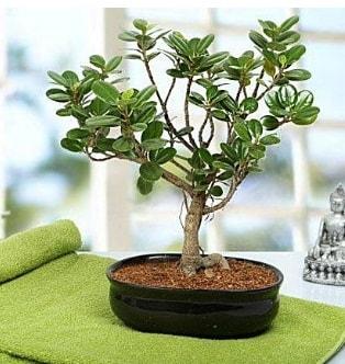 Lovely Ficus Iceland Bonsai  Muğla çiçek gönderme