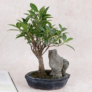 Japon ağacı Evergreen Ficus Bonsai  Muğla çiçek siparişi vermek
