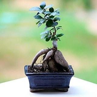 Marvellous Ficus Microcarpa ginseng bonsai  Muğla yurtiçi ve yurtdışı çiçek siparişi