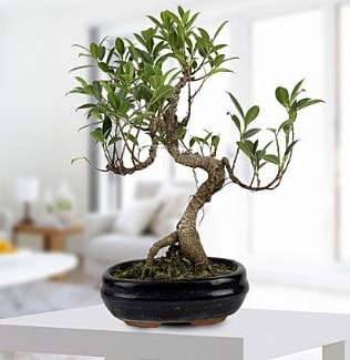 Gorgeous Ficus S shaped japon bonsai  Muğla çiçek siparişi sitesi