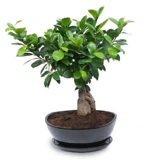 Ginseng bonsai ağacı özel ithal ürün  Muğla çiçek mağazası , çiçekçi adresleri