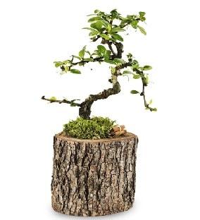 Doğal kütükte S bonsai ağacı  Muğla uluslararası çiçek gönderme