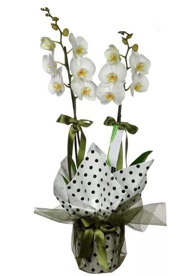 Çift Dallı Beyaz Orkide  Muğla çiçek yolla